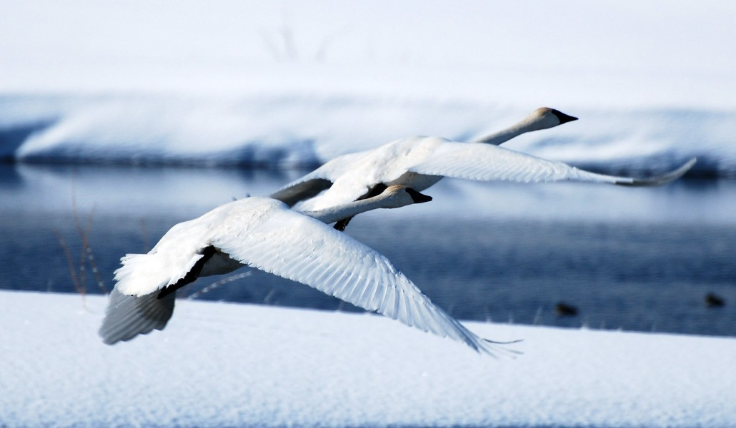swans 8 x 10