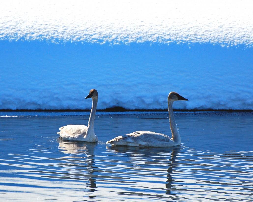 swans2 8 x 10